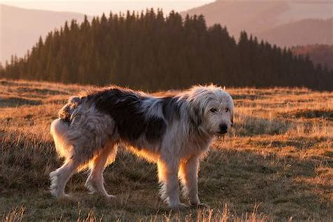 romanian shepherd dog breed mioritic   munti tarcu