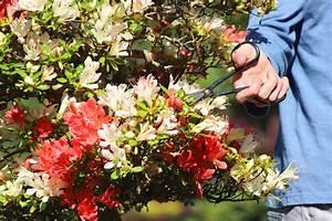 Wann Blüht Der Rhododendron : japanische azalee schneiden wann und wie wird 39 s gemacht ~ Eleganceandgraceweddings.com Haus und Dekorationen