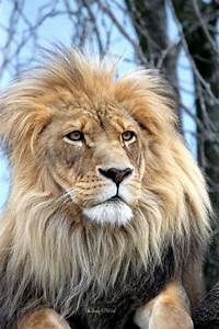 African Lion by cindy1701d on DeviantArt
