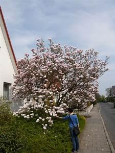 Magnolie Blüht Nicht : 19 magnolia soulangiana tulpen magnolie ein klassiker unter den magnolien und bl ht in ~ Buech-reservation.com Haus und Dekorationen