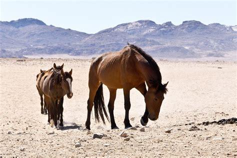 horses desert wild namib namibia africa magazine freedom