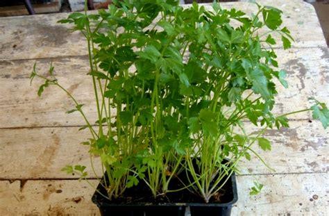prezzemolo in vaso coltivare il prezzemolo in casa anche d inverno