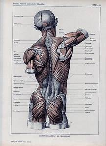 Authentic 1898 Anatomy Book Page Muscles By