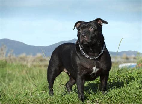 staffordshire bullterrier gefaehrlicher familienhund