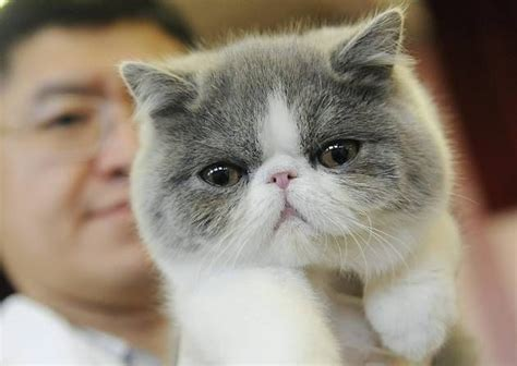 Exotic Shorthair Cat  People Flock To Wisbech For Exotic