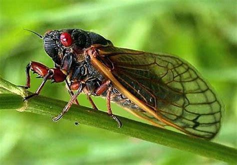 the sound of cicadas synchromiss