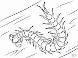 Millipede Centipede Coloring Pages Chinese Headed Template sketch template