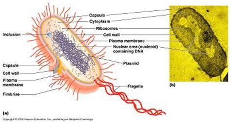 Cell Types Organelles