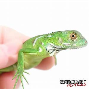 Baby Green Iguanas For Sale - Underground Reptiles