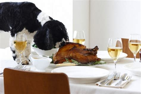 dog eating at table thanksgiving food is for people not pets the doghouse rumor