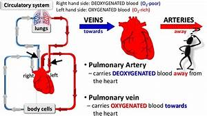 Circulatory System Intro