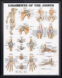 Ligaments Of The Joints Chart 20x26