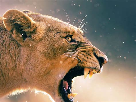 angry animal female lion hd desktop backgrounds