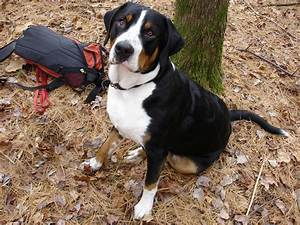 Greater Swiss Mountain Dog Pulling HD Wallpaper ...