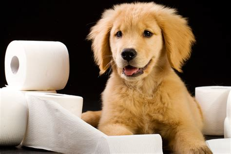 puppy toilet at potty a puppy and cleaning up messes made simple learn more