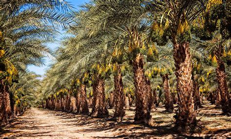 date palm | Description, Uses, & Cultivation | Britannica