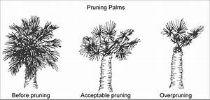 Pruning Palm Trees  Ifas Extension Pinellas County