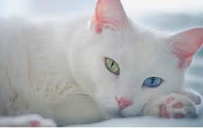 White cat green blue eyes Wallpapers Pictures Photos Images  White Baby Cat With Blue Eyes