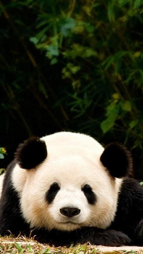 Panda Anime Wallpaper - anime panda wallpaper 64 images