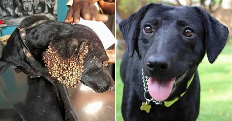 tick infested dog  heartwarming transformation gag