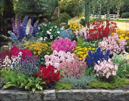 plante de massif vivace du japon  des fleurs
