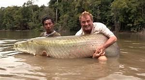 Ikan Air Tawar Terbesar Ditangkap ~ ANAK-KALIMANTAN
