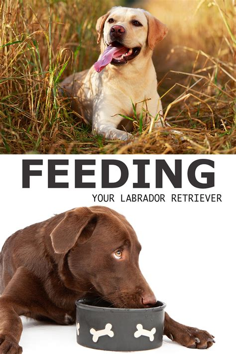feed  labrador  complete guide