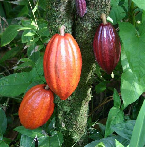 การปลูกต้นโกโก้   ปลูกผัก, การปลูกพืช, โกโก้