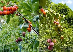 Arbre A Fruit : l 39 arbre qui produit 40 fruits diff rents ~ Melissatoandfro.com Idées de Décoration