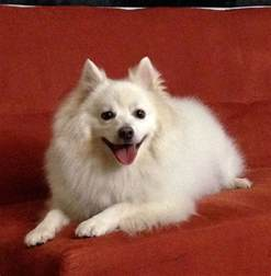 miniature american eskimo dog facts pictures price and