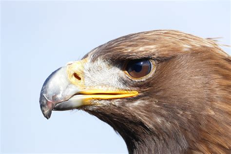 raptor bird free photo adler bird bird of prey raptor free image on pixabay 947819