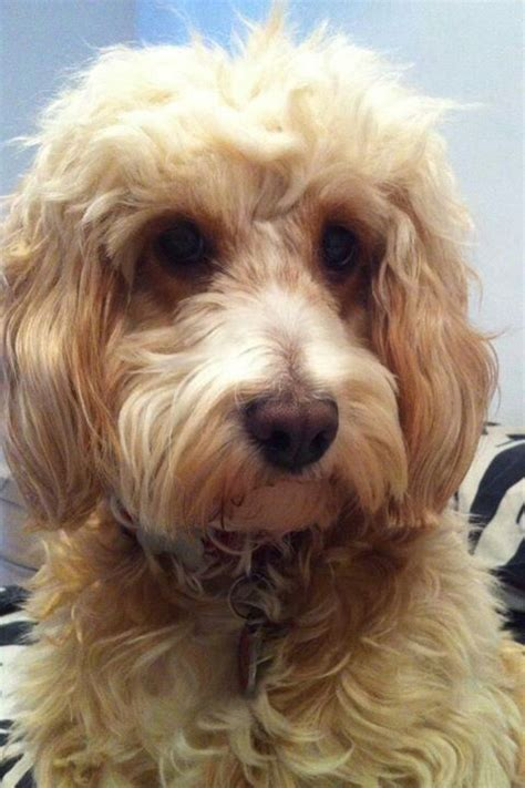 17 best images about cockapoo i love you on pinterest