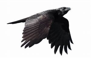 Flying Crow Png