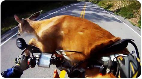 deer survives motorcycle smash throwbackthursday youtube