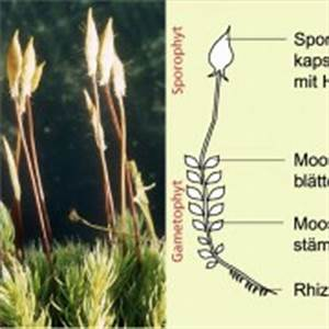 Bau Der Pflanze : moose in biologie sch lerlexikon lernhelfer ~ Lizthompson.info Haus und Dekorationen