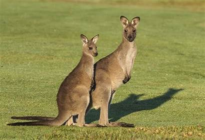 Kangaroo Kangaroos Court California Australia Dirty Animals