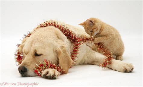 Pets Golden Retriever And Ginger Kitten With Tinsel Photo