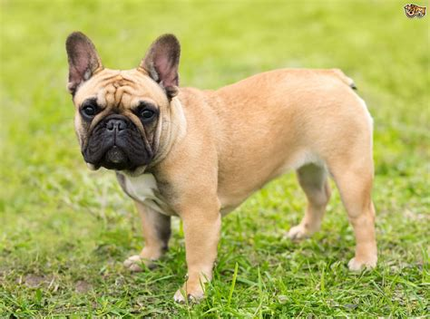 wet food  french bulldogs uk food