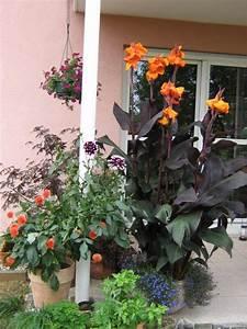Canna Blüten Abschneiden : blumenzwiebeln und knollenpflanzen canna 39 wyoming 39 ~ Lizthompson.info Haus und Dekorationen