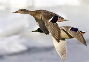 Birds Flying Mallard Duck