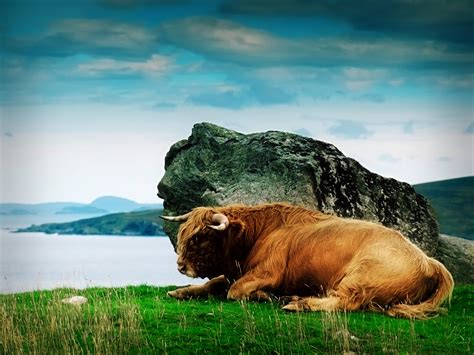 Animal Hd Wallpapers 1600x1200 - animals rocks scotland highland cattle 1600x1200 wallpaper