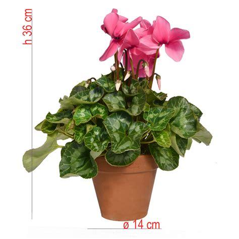 vaso di coccio ciclamino vaso 14 in coccio bonini piante