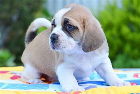 bassugg basset hound pug mix info temperament puppies