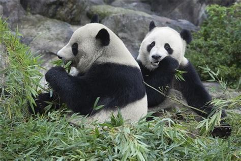 panda aufzuchtstation  chengdu china zum streicheln