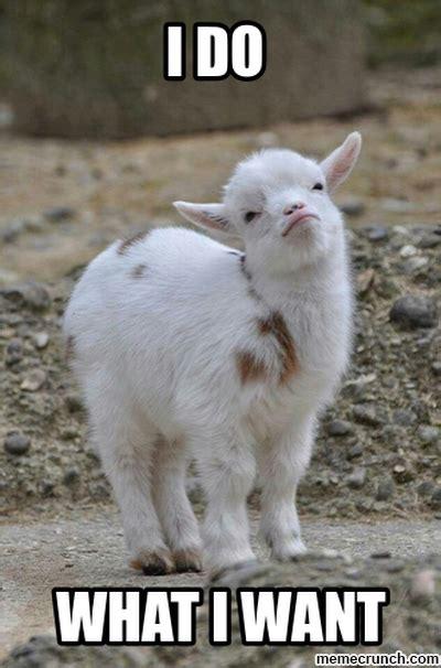 I Do What I Want Meme - i do what i want goat