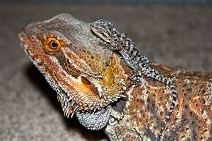 Free Wallpapers Blog: bearded dragon backgrounds