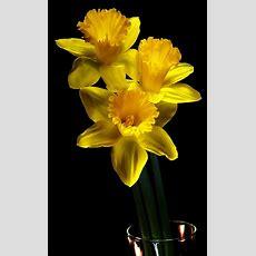 """Daffodils  """"new Beginnings""""  Blomme, Gemeng  Pinterest  Jonquilles, Fleur Et Jaune"""