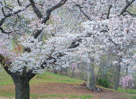 branch brook gardens branch brook park cherry blossom festival 2018