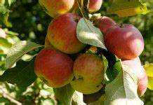 Apfelbaum Wann Schneiden : gummibaum ficus elastica pflege anleitung plantopedia ~ Frokenaadalensverden.com Haus und Dekorationen