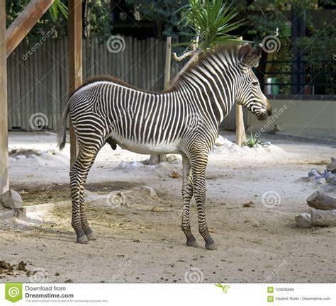 herbivores horse africa savanna mammal equine zebra striped herbivorous mane preview